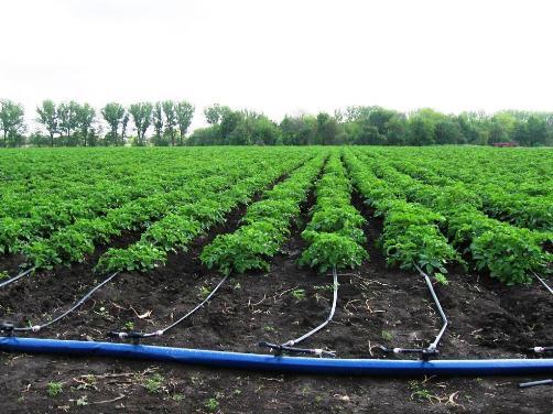 Полив грядок картофеля с помощью системы капельного орошения