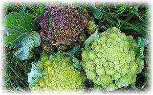 капуста брокколи лучшие сорта