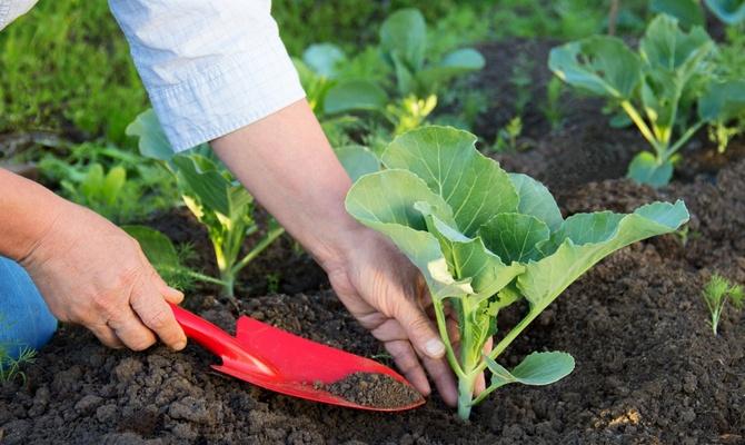 Выбираем подходящую почву для белокочанной капусты