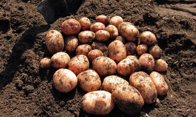 Выкопанный картофель сорта Аврора