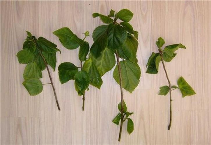 Размножение китайской розы отводками