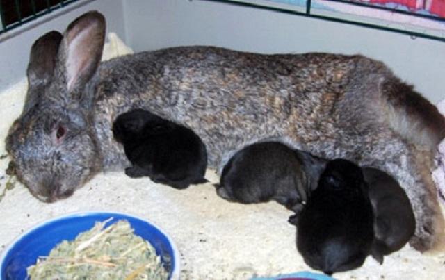 кормить крольчат