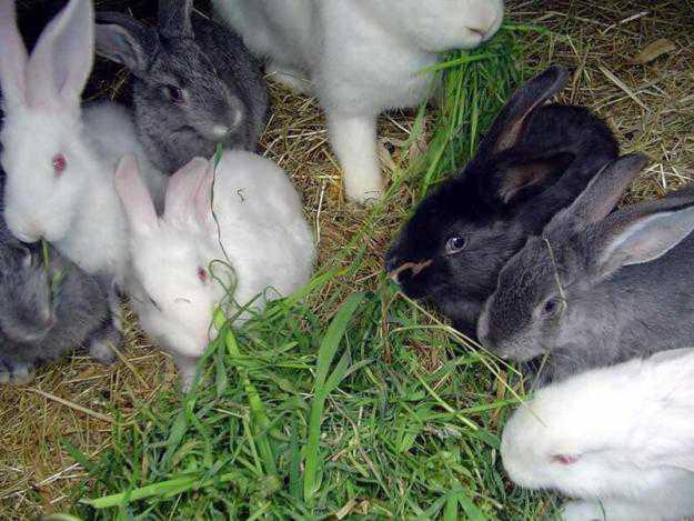 Едят ли кролики полынь