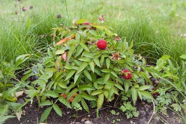 Куст гибридного растения, произошедшего от малины и клубники