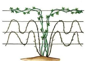 Кустовой способ выращивания ежевики