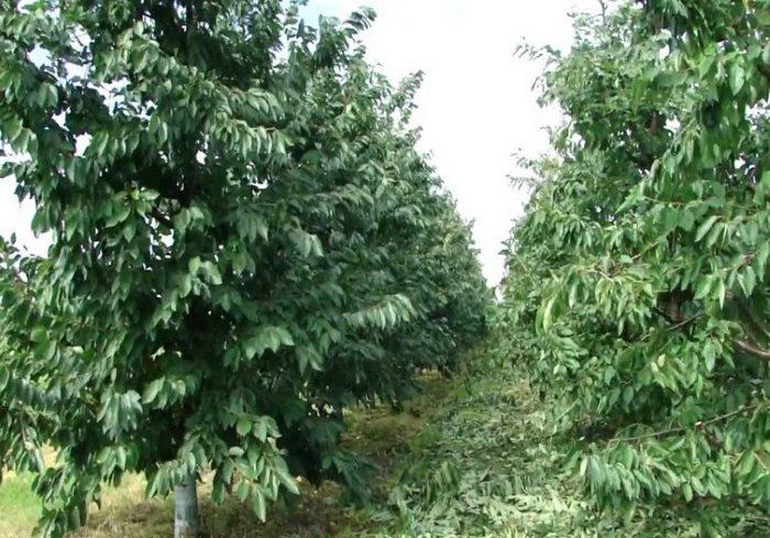 Ряды взрослых деревьев черешни и летнее прореживание кроны растений