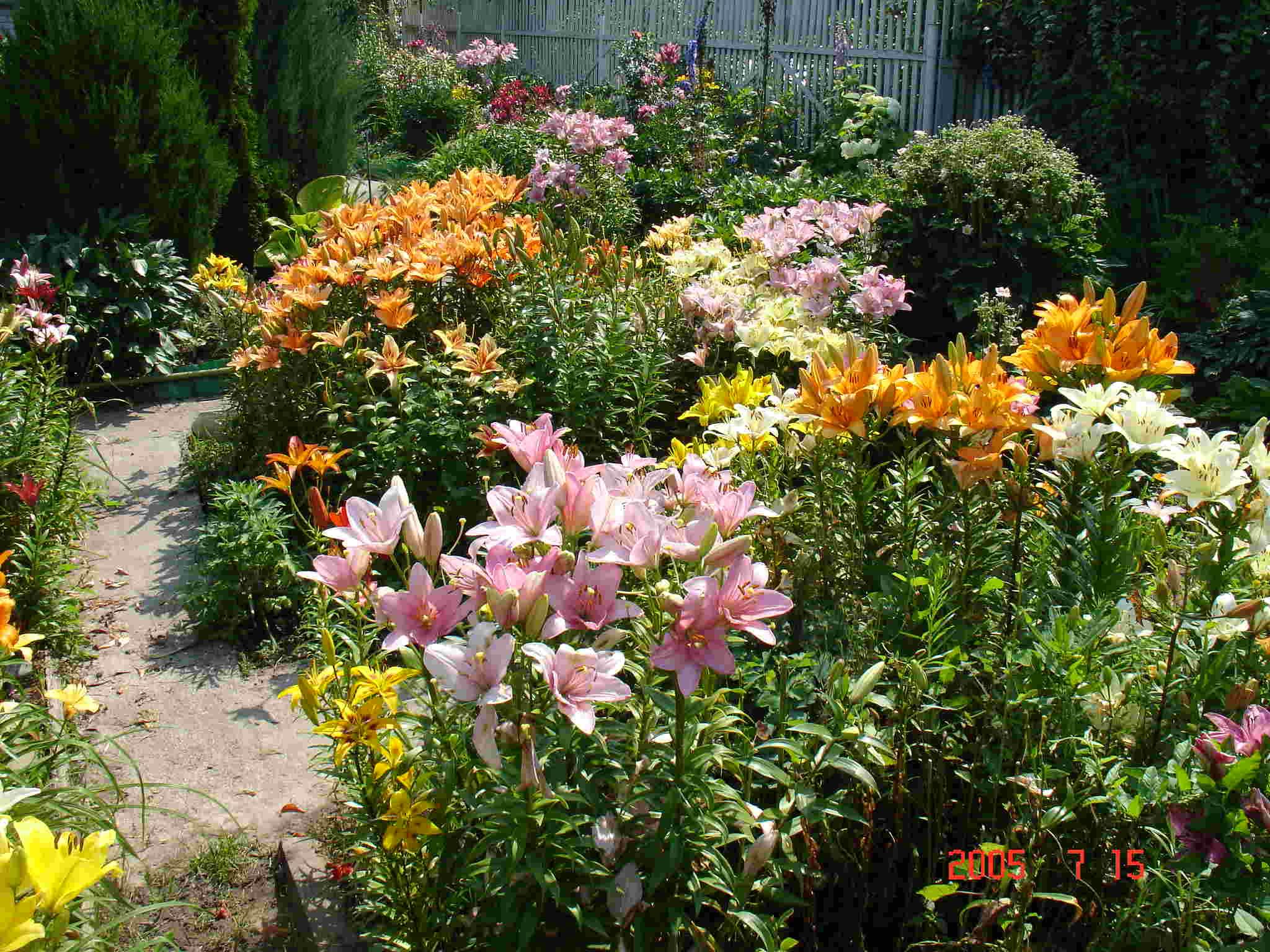 Азиатская лилия в саду: выбор места