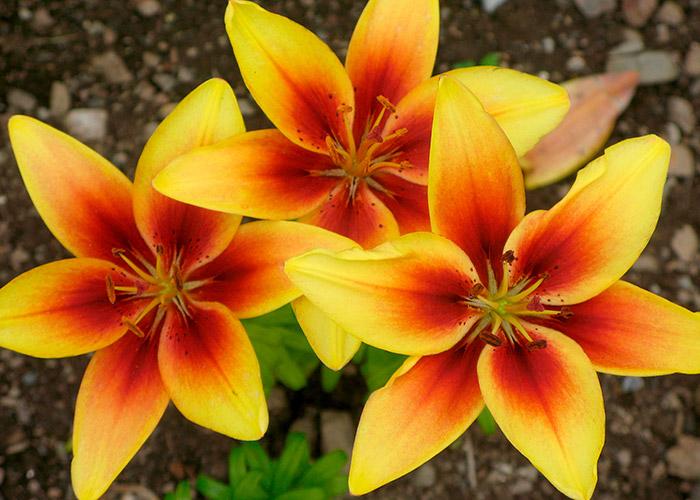 сорт лилии