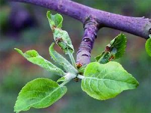 Гусеница розанной листовёртки