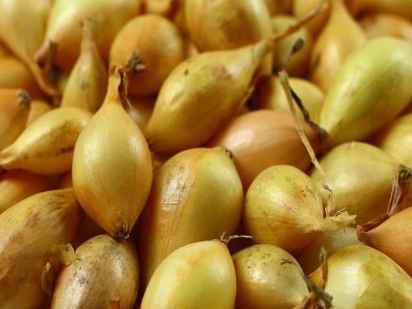 Зачем готовить лук-севок к посадке