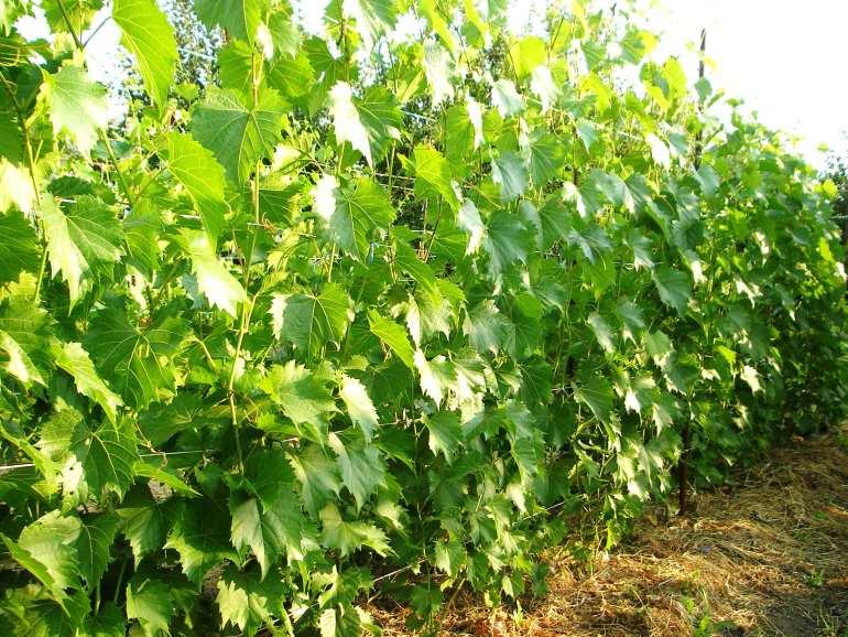 Формирование куста винограда схема формы для начинающих