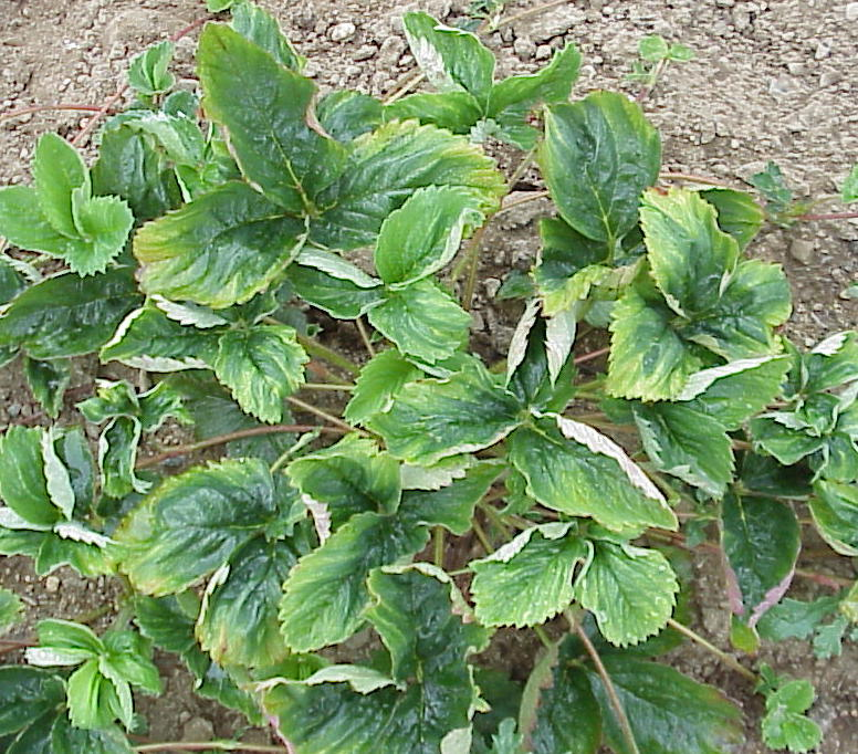 Куст клубники со скрученными листьями, признак появления мучнистой росы