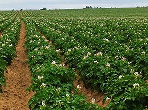 Мульчирование картофеля