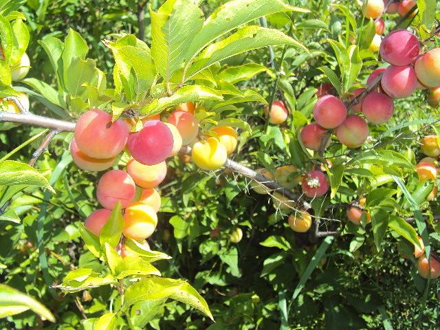 Освещенные ярким солнцем плоды сливы гибридного сорта Находка Бурятии