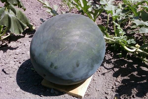 арбуз сорта Огонек в открытом грунте