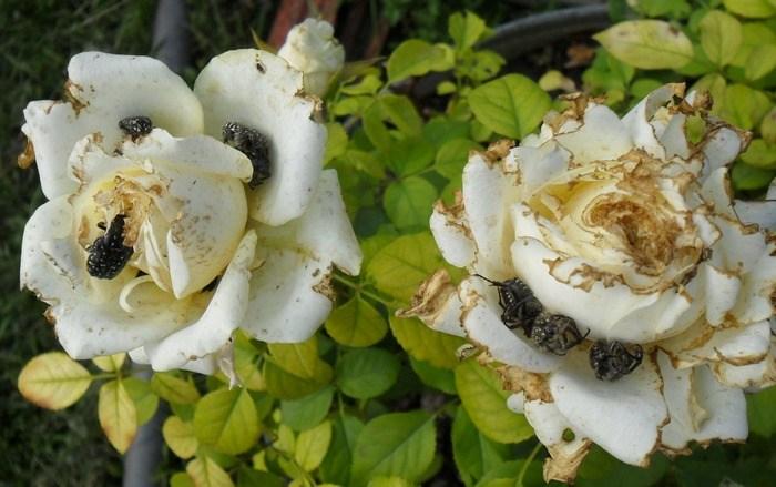 Вредители роз - жук Олёнка