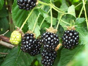 Описание плодов ежевики агавам