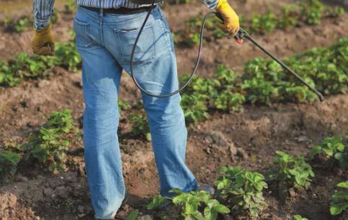 Клубника в поле, обработка растений от комплекса заболеваний и вредителей