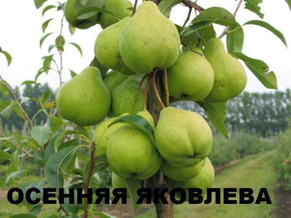 Зеленоватые груши сорта Осенняя Яковлева в период съемной спелости