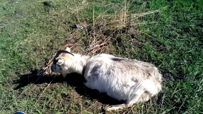 Острая тимпания рубца у козы