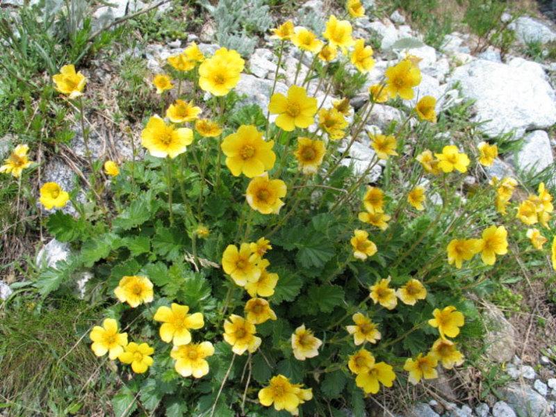 Откуда родом цветок гравилат