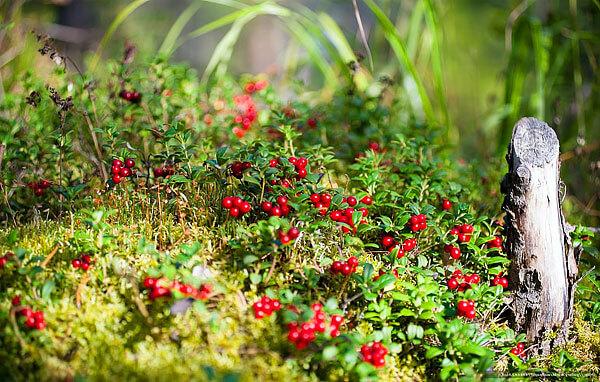 Брусника спокойно мирится с соседством многих других растений.