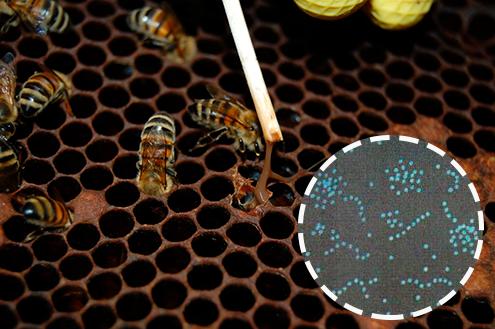 Лечение гнильца у пчел антибиотиками