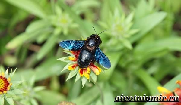 Пчела-плотник-Образ-жизни-и-среда-обитания-пчелы-плотника-4