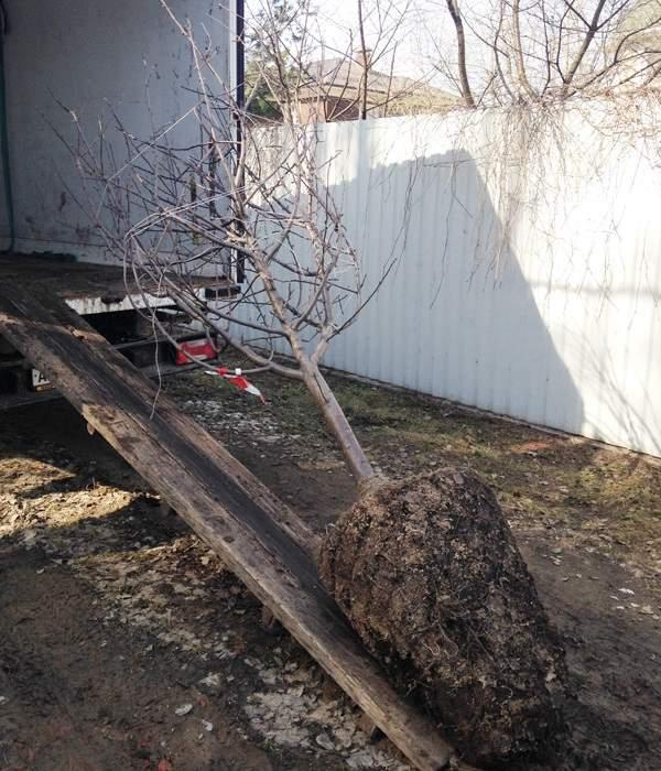 Перевозка взрослой груши на грузовом автомобиле с мощной корневой системой