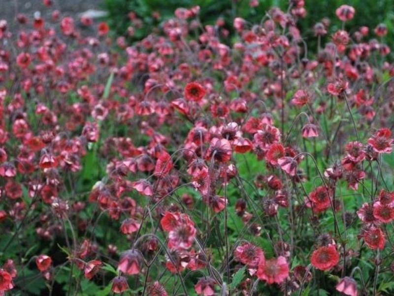 Период цветения гравилата