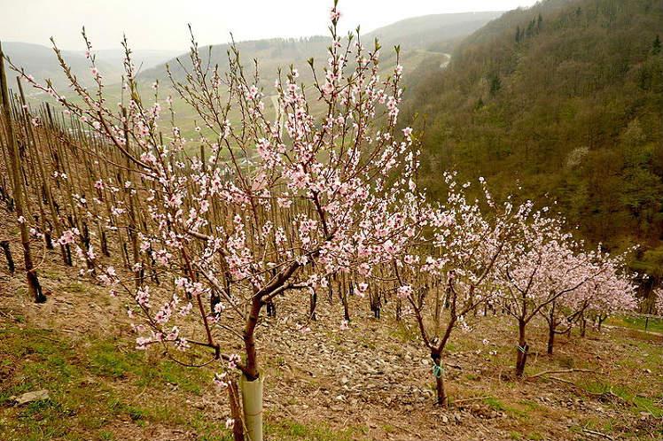 Персиковая плантация