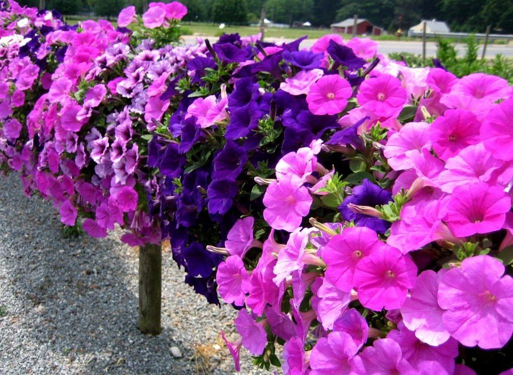Выращивание петунии для украшения