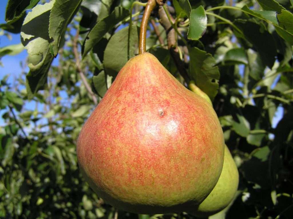 Плод груши Памяти Яковлева