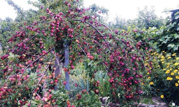 Плодоносящее дерево алычи с сорта Кубанская комета