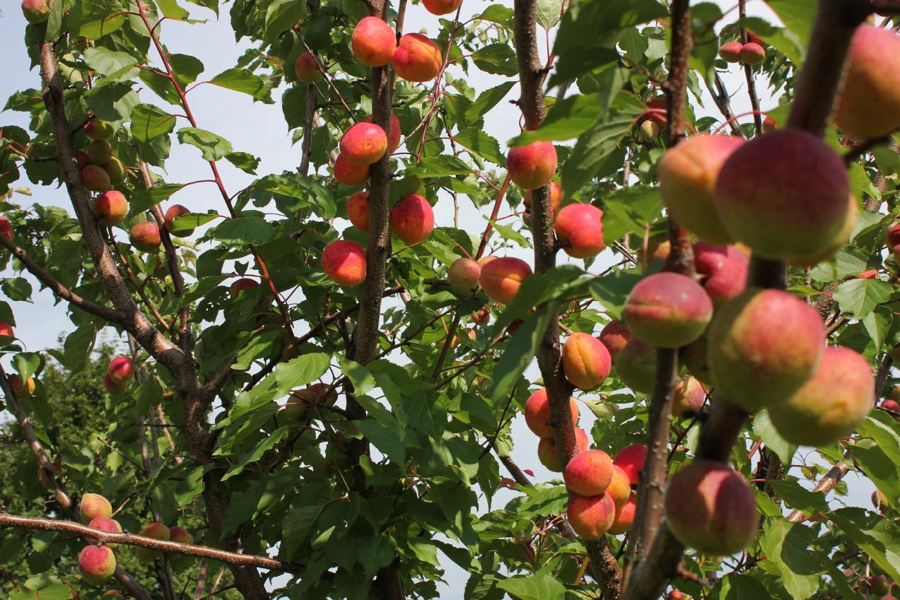 Плоды абрикоса на дереве