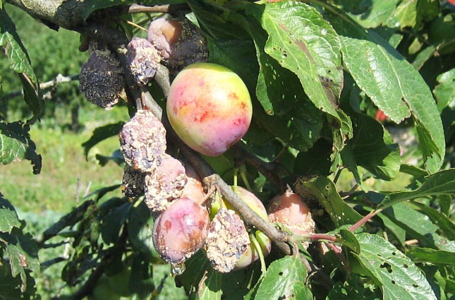 Плоды алычи, поражённые плодовой гнилью
