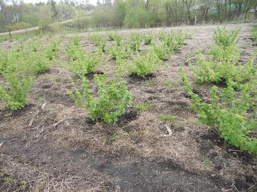 Подходящее место для кустов чёрной смородины