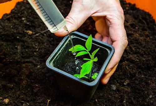Азотная подкормка рассады томата
