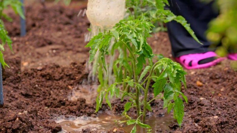 Простые правила для рекордной урожайности томатов - подкормка помидоров мочевиной: зачем нужна и как это сделать