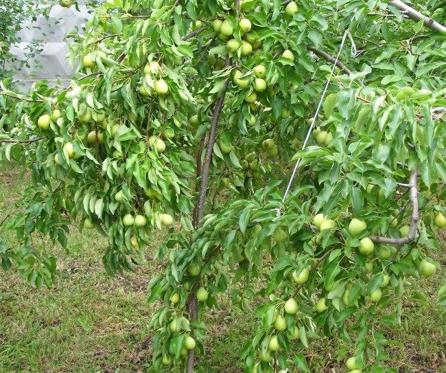 Ветка грушевого дерева на подпорке в саду частного хозяйства