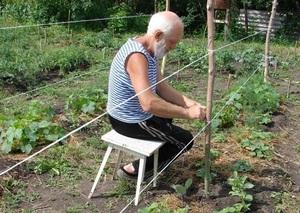 Сроки подвязывания огурцов в открытом грунте