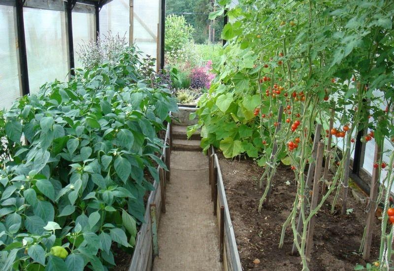теплица и выращивание