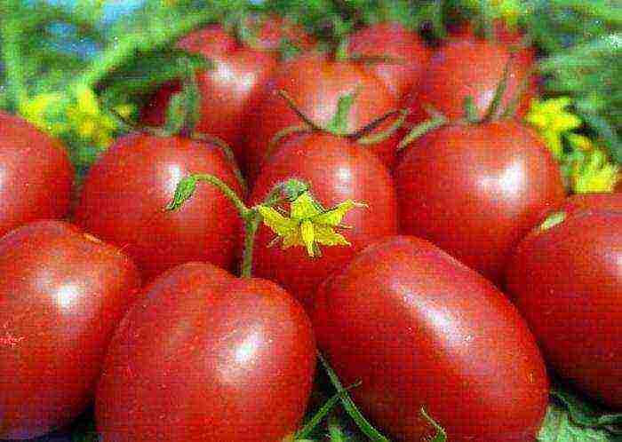 помидоры сливки лучшие сорта