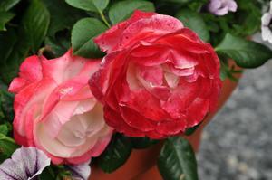 Описание сорта розы
