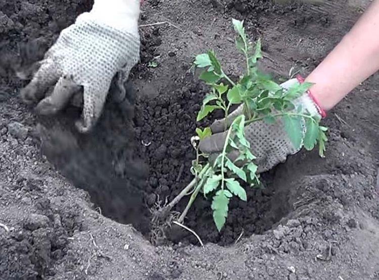 Что класть в лунку при посадке томатов