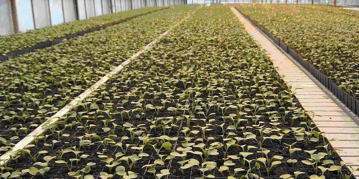 На изображении посев редиса в открытый грунт