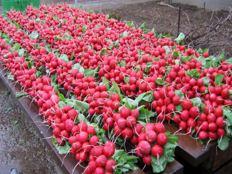 На фотографии посадка редиса весной