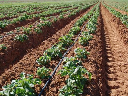 Фото посадки раннего картофеля на юге России, uralinvest.net