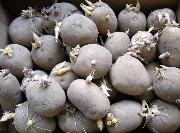 На фото - проращивание картофеля, 7dach.ru