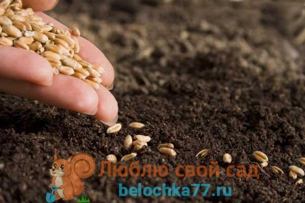 Что посадить после больных фитофторой помидор для оздоровления почвы